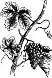 Изображение за грозде